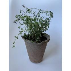 Tomillo - Plantin