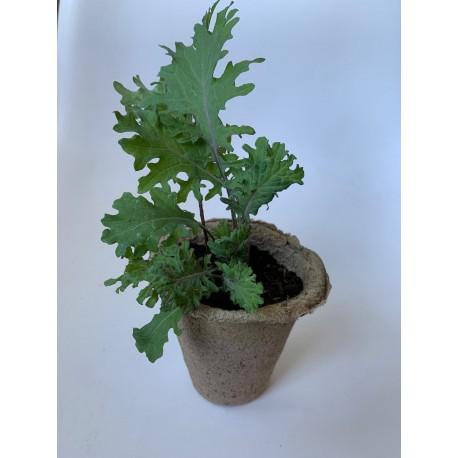 Kale ruso - Plantin