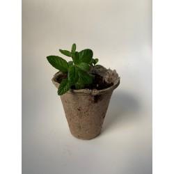 Melisa - Plantin