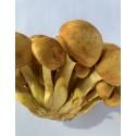 Hongos de Eucaliptus 1/2kg
