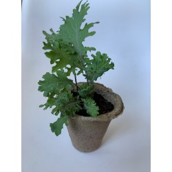 Rucula - Plantin