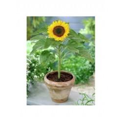 Girasol enano - Plantin
